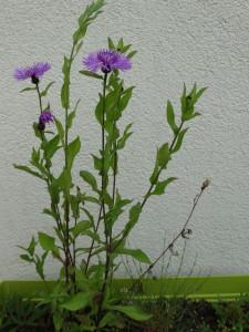 Wiesenblumen können auch in Töpfen am Balkon gepflanzt werden