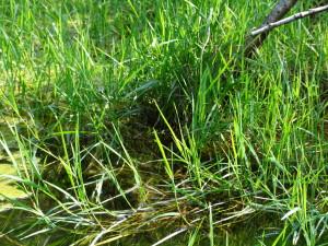 Flutrasen mit flutendem Schwadengras (Glyceria fluitans), auch charakteristische Art der Bachröhrichte