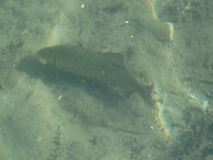 Schleie im Kalterer See- natürlich vorkommende Fische in den Gewässern Südtiorls sind extrem selten