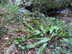 Hirschzungenfarn und Eibe im Schluchtwald des Bärentales in Salurn