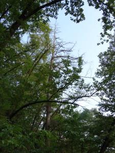 ehemals gepflanzte Lärche im Hopfenbuchen- Mannaesche ist abgestorben (Hitzestress durch Klimawandel)