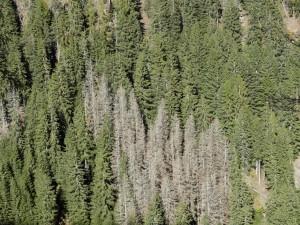 Abgestorbene Fichten im Ultental durch Borkenkäferbefall