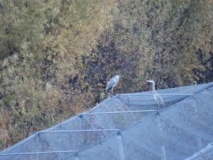 Graureiher, fischfressende Vögel