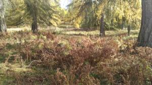 beweidete Lärchenwiese- Adlerfarn verdrängt Wiesenpflanzen