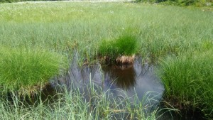 Moorgewässer: einige Libellenarten kommen nur in Moorgewässern vor