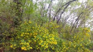 Hopfenbuchen- Mannaeschenwald mit blühender Strauchkronwicke (Coronilla emerus)
