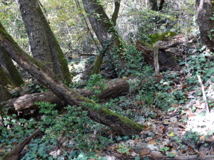 Wärmeliebende Laubwälder mit Eichen und Mäusedorn