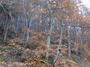 Wald mit Föhren und Buchen