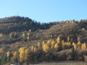 gepflanzte Lärchen in den Hopfenbuchen- Mannaeschenwäldern