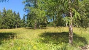 artenreiche Lärchenwiese- tradtitionell genutzt in St. Felix