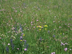 Artenreiche bunte Fettwiese, hochwertiges Futter und Blüten im Übefluss