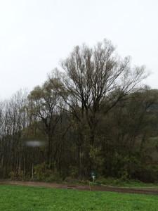 Auwald der Ilstener Au mit Silberweiden, Grauerlen und zahlreich Eschen