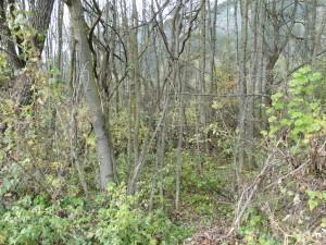 Von Eschen dominierter Auwald in der Ilstener Au im Pustertal: Hartholzauwald