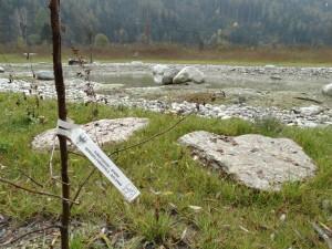 Auwald mit Eschen, Weiden und Grauerlen wurde weggebaggert und danach wurden Grauerelen gepflanzt