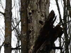 Abgestorbener Baum in der Ilstener Au mit Spechthöhlen