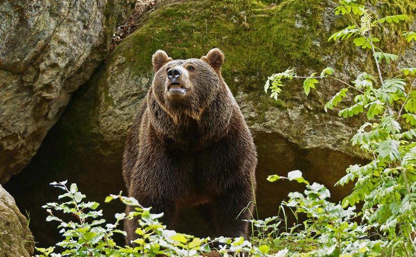 Bären in Südtirol