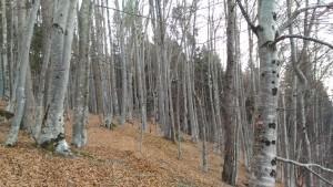 Buchenwald: typischer Bärenlebensraum in Italien