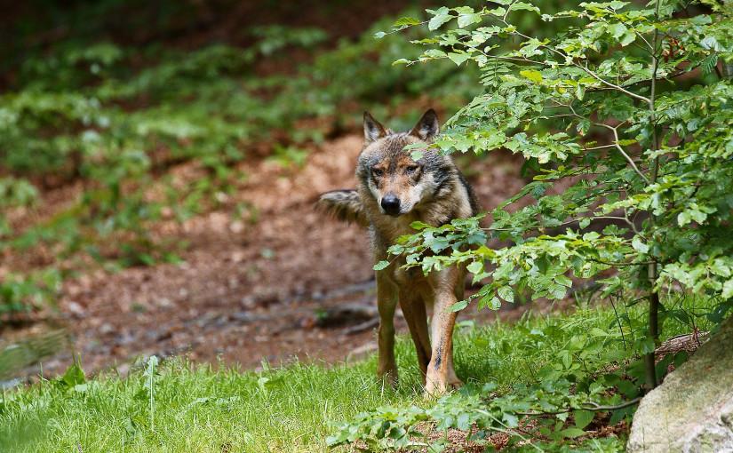 Rückkehr des Wolfes