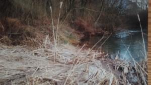 Röhricht mit Rohrkolben auf Sandbank an der Falschauer im Biotop (März 1997)