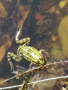 Grünfrösche/ Wasserfrösche halten sich meist in Gewässern auf