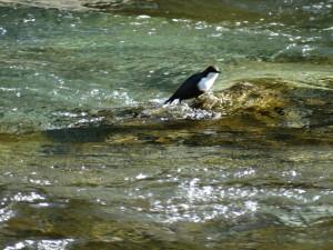 Wasseramsel, einziger Singvogel der unter Wasser Insekten jagt