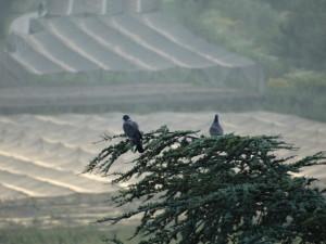 Ringeltaube im Bild- in Südirol nicht ausgestorben (Hohltauben und Turteltauben sind in Südtirol als Brutvögel ausgestorben)