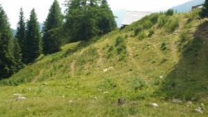 Überweidete Almfläche: Trittgänge der Kühe und Weideunkräuter degradieren die Almweide