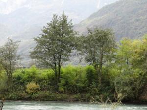 Durchforstete Ufergehölze an der Etsch und sich ausbreitende invasive Neophyten