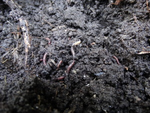 Bodenmakrofauna: Regenwürmer (Lumbricide)