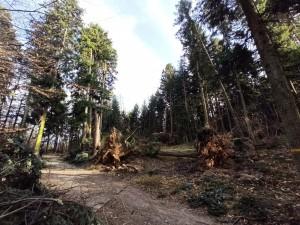 Umgeworfene nicht natürlich vorkommende Douglasie im Montiggler Wald im Februar 2020