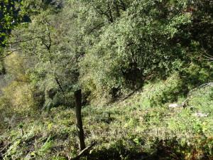beweideter Schluchtwald (Schluchtwald mit zahlreich Schwarzerlen)