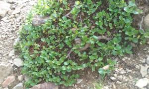 """niederliegende, am Boden kriechender """"Baum"""" im Hochgebirge: Stumpfblättrige Weide (Salix retusa)"""