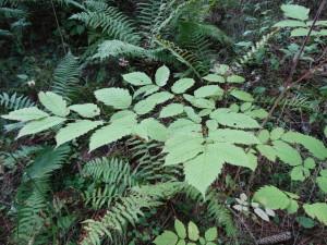 Wald-Geißbart (Aruncus dioicus) in Schluchtwald