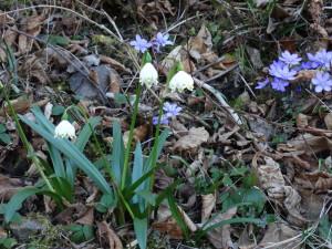 Frühlings-Knotenblume (Leucojum vernum) und Leberblümchen (Hepatica nobilis) im Buchenwald