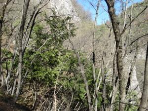 Eibe (Taxus baccata) in einem Laubwald bei Salurn