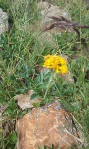 Jacobaea carniolica