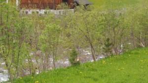 Skurrile Pflanzung von Zirben in den Ufergehölzen.