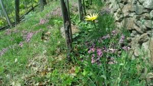 Weinberg mit bunter Artenvielfalt (gelb: Groper Bocksbart, violett: Rot- Seifenkraut (Saponaria oxymoides)violett: Rot- Seifenkraut (Saponaria oxymoides)