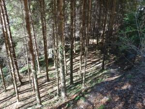 Ein Fichtenforst ersetzt Buchenwald im Bärental bei Salurn