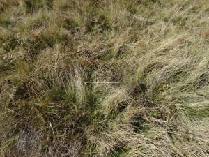 Artenarmer Borstgrasrasen, die wenisten Borstgrasrasen Südirols sind artenreich