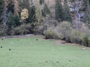 Weide mit unvollständiger Umzäunung auf nur einer Seite der Weide- Schafe sind nicht eingezäunt