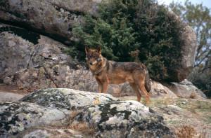 Wölfe (Bildquelle: Europäische Kommission)
