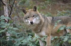 Wolf (Bildquelle: Europäische Komission)