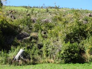 Laubgehölze gewinnen auf der Fläche nach dem Windwurf die Oberhand: Haselnuss, Esche, Ahorn usw.