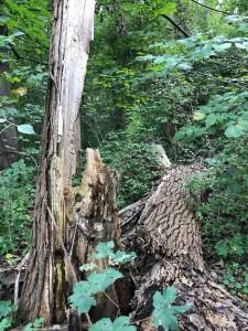 Auwald in der Industriezone Brixen mit Totholz Lebensraum einer Vielzahl hochspezialierter Käferarten