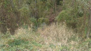 Schilf im Auwald in der Industriezone- der Auwald ist gut mit Wasser versorgt