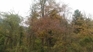 Schwarzerlen (links im Bild) im Auwald in der Industriezone Brixen