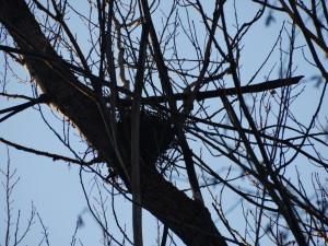 Vogelnest auf Schwarzpappel im Auwald