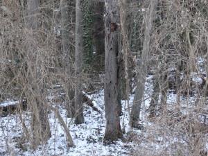 Alte absterbende Scharzerle mit zahlreichen Spechthöhlen im Auwald