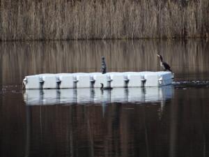 drei Kormorane am Montiggler See
